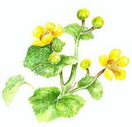 puriena_flower